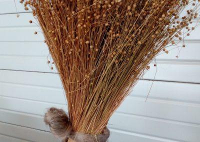 Le lin juste arraché: de la racine aux graines