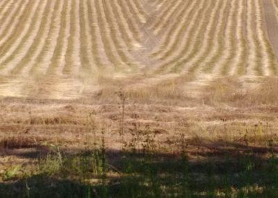 Rouissage du lin sur le champ